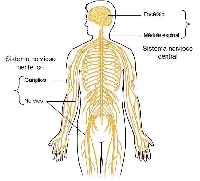 desgaste+sistema+nervioso+central